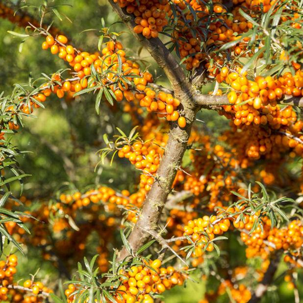 Havtorn 'Julia', honplanta, Höjd 35 cm, Grön