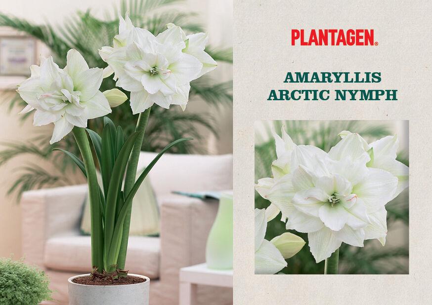 Amaryllis 'Arctic Nymph', Vit