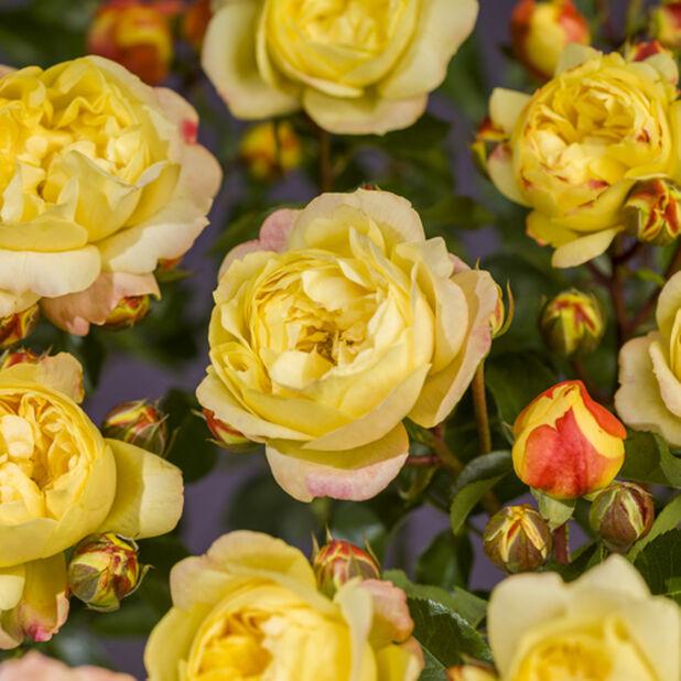 Klasblommig ros ´Lampion´ på stam, Höjd 100 cm, Gul