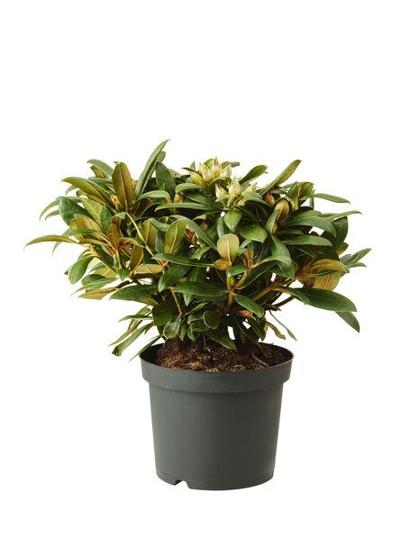 Yakushimanum-rododendron  'Hachmann's Polaris', Ø21 cm, Rosa