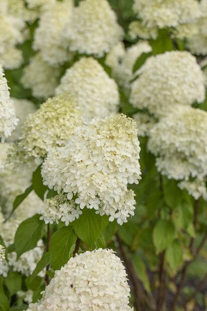 Vipphortensia 'Limelight' på stam, Höjd 70-90 cm, Vit