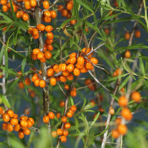 Havtorn 'Julia', honplanta, Ø23 cm, Orange