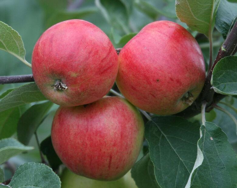 Äpple 'Huvitus', Höjd 180 cm, Vit
