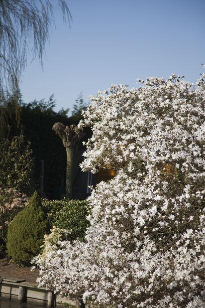 Magnolia mix 70 cm