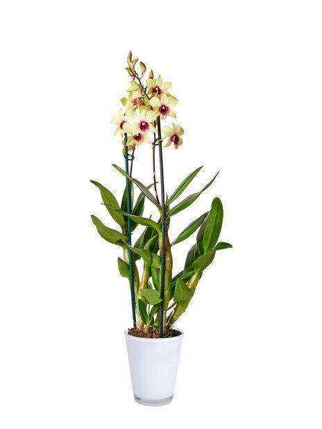 Dendrobium orkidé 'Sa-Nook', Höjd 55 cm, Flera färger
