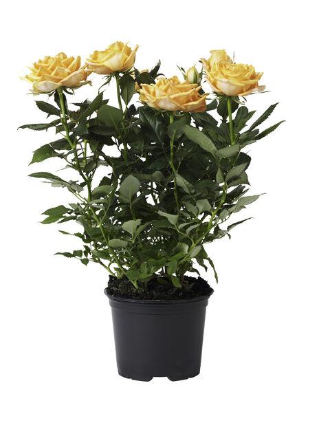 Ros i kruka , Höjd 32 cm, Gul