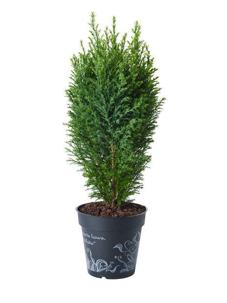 Ädelcypress , Höjd 25 cm, Blå