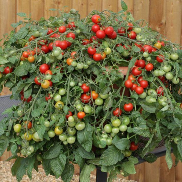 Tomatplanta i ampel