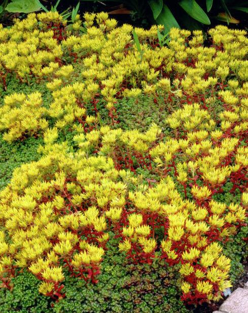 Oregonfetknopp, Ø11 cm, Gul