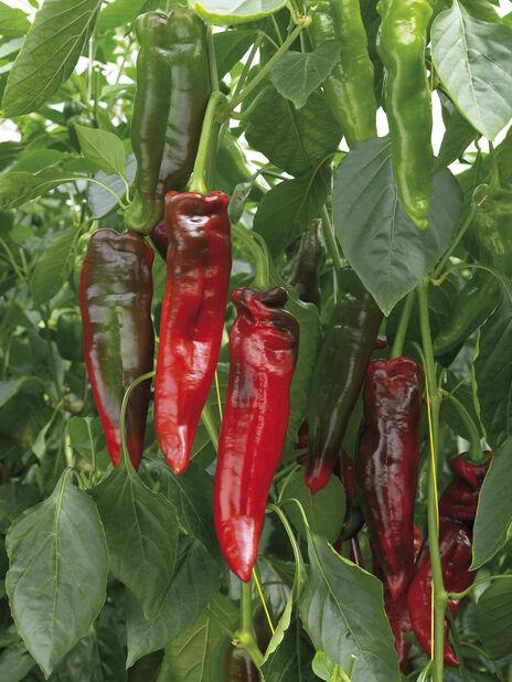 Snackpaprika 'Aji Delight', Ø12 cm, Röd