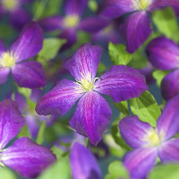 Klematis 'So Many Purple Flowers', Höjd 75 cm, Rosa