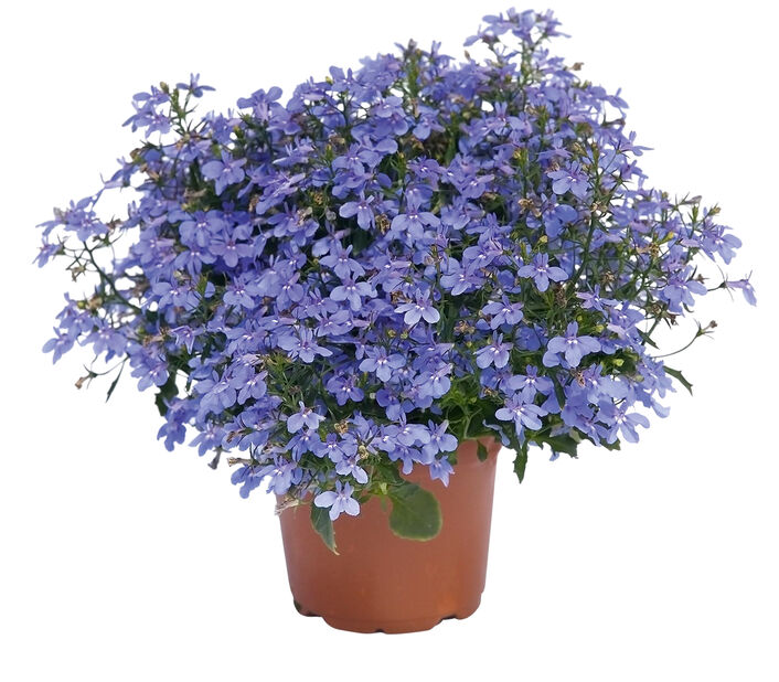 Hänglobelia 'Techno-Up'
