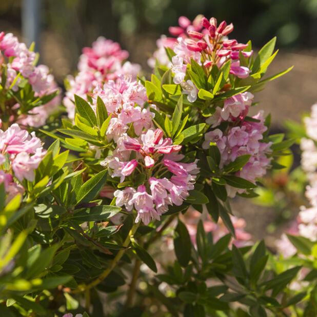 Skvattramalpros 'Bloombux', Höjd 25 cm, Rosa