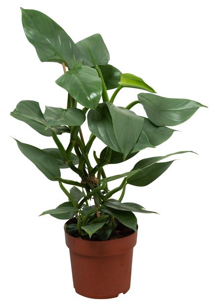 Filodendron, Höjd 40 cm, Grön