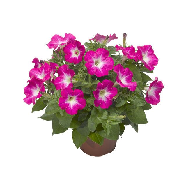 Petunia storblommig, Ø12 cm, Rosa