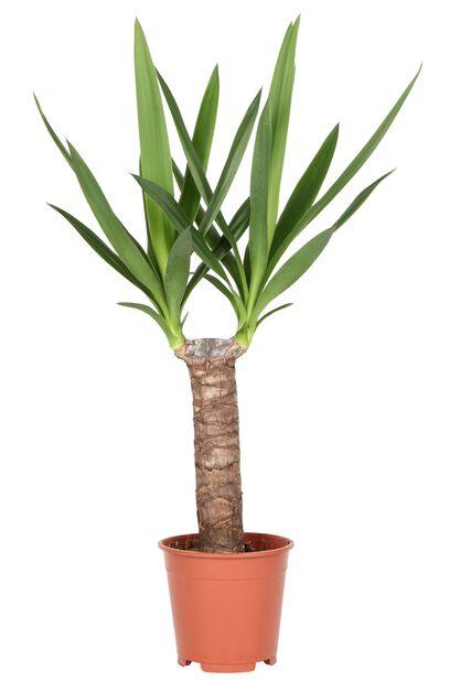 Yuccapalm, Höjd 80 cm, Grön