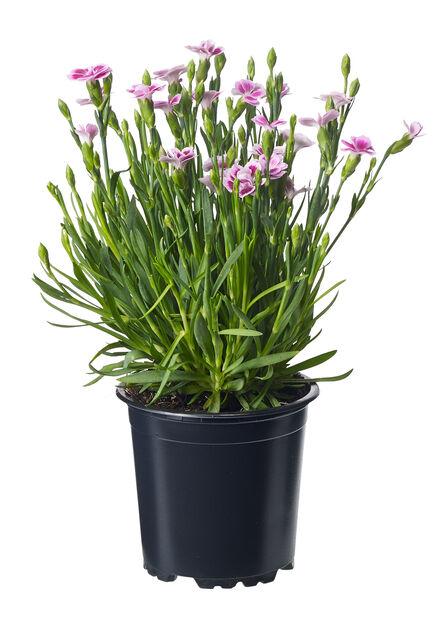 Trädgårdsnejlika, Ø10.5 cm, Rosa