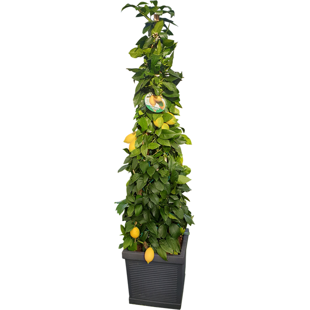 Citrusplanta pyramid, Ø40 cm, Flera färger