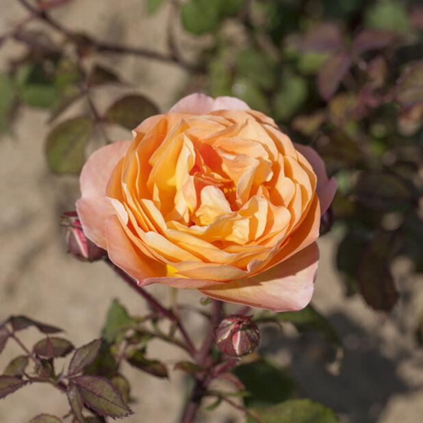 Austinros 'Lady Emma Hamilton', Ø21 cm, Orange
