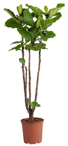 Fiolfikus , Höjd 135 cm, Grön