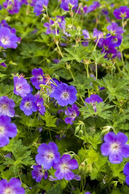 Trädgårdsnäva 'Rozanne', Höjd 25 cm, Blå