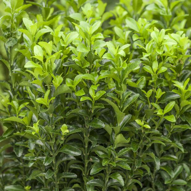 Japansk benved 'Green Spire', Höjd 15 cm, Grön