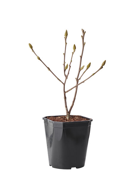 Magnolia 'Green Diamond', Höjd 50 cm, Flerfärgad