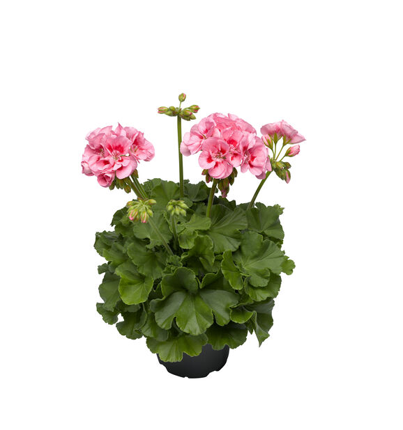 Pelargon Calliope 'Pink Splash', Ø12 cm, Rosa