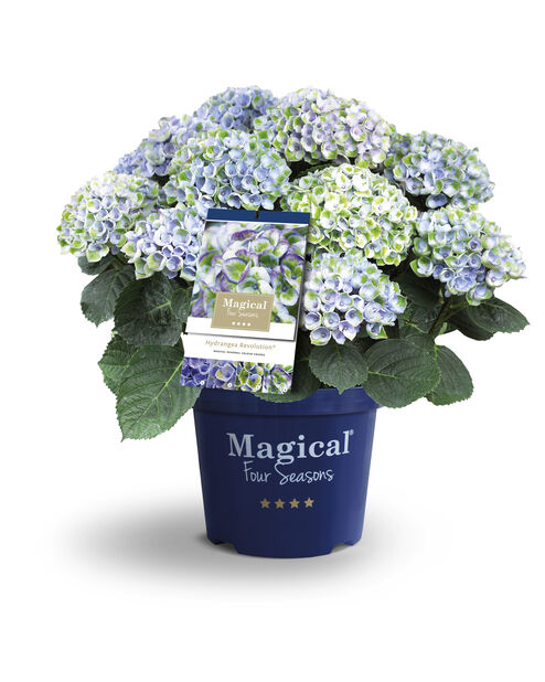 Hortensia 'Magical', Höjd 45 cm, Flerfärgad