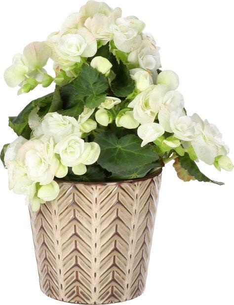 Begonia, Höjd 25 cm, Vit