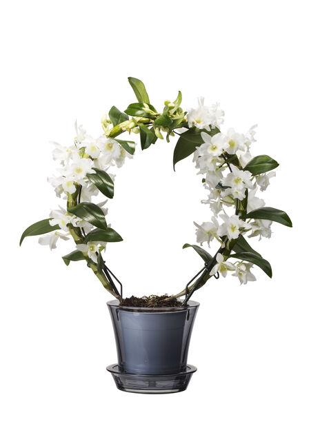 Dendrobium orkidé, Höjd 50 cm, Vit