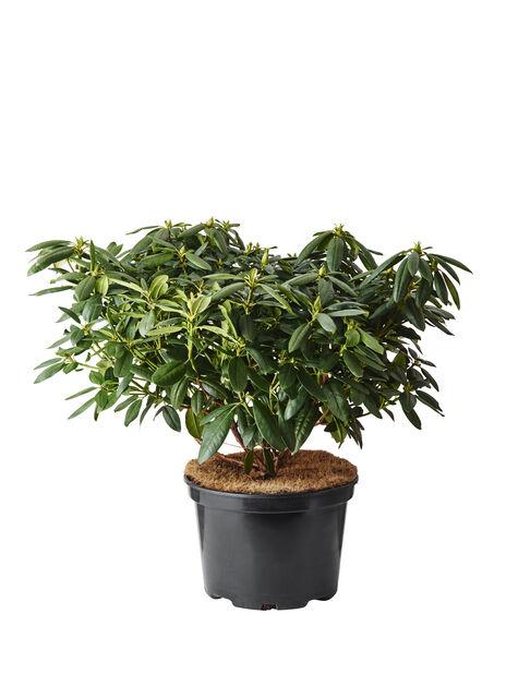 Rhododendron-hybrider, Ø100 cm, Vit