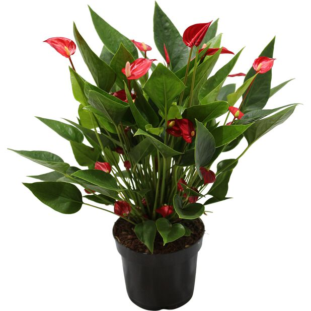 Rosenkalla 'Red Million Flowers', Höjd 50 cm, Röd
