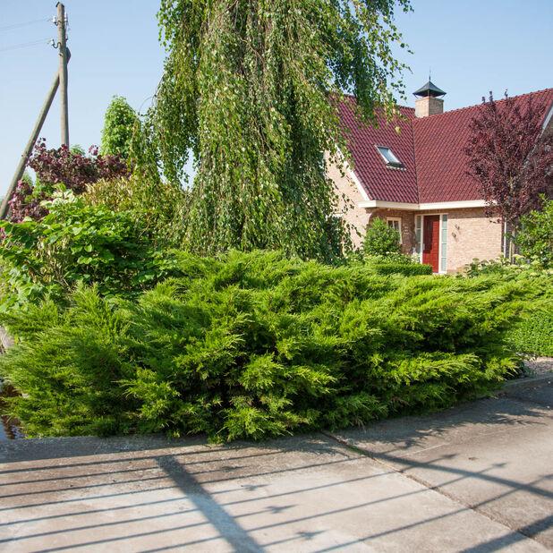 Trädgårds-en 'Mint Julep', Höjd 25-30 cm, Grön