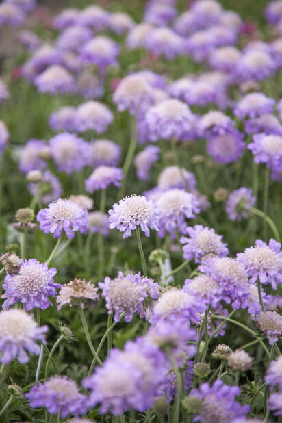 Fältvädd 'Butterfly Blue', Höjd 20 cm, Blå