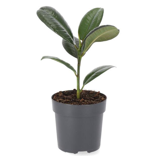 Fönsterfikus 'Robusta', Höjd 30 cm, Grön