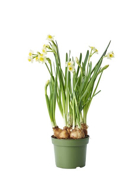Minipåsklilja 'Minnow', Ø12 cm, Gul
