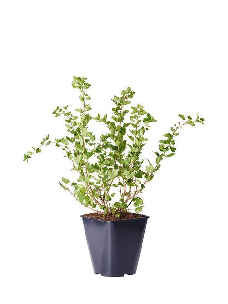 Krusbär 'Invicta', Ø22 cm, Grön