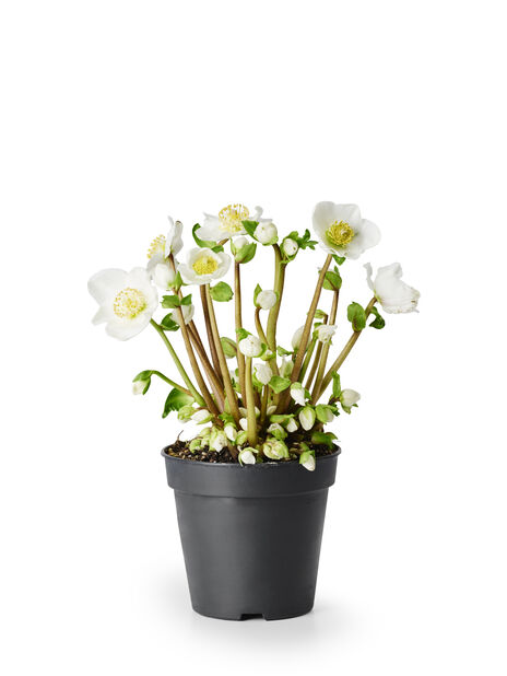 Julros 'Verboom Beauty' 10.5 cm