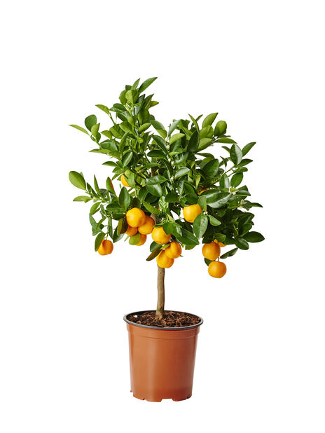 Kalamondin på stam, Ø19 cm, Orange