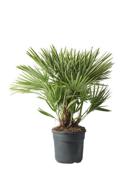 Dvärgpalm, Ø27 cm, Grön
