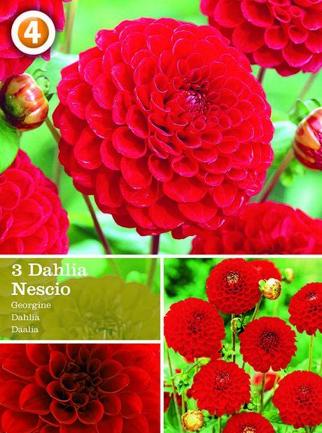 Pompondahlia 'Nescio', Röd