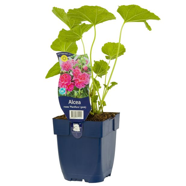 Stockros 'Pleniflora' (rosa), Ø11 cm, Rosa