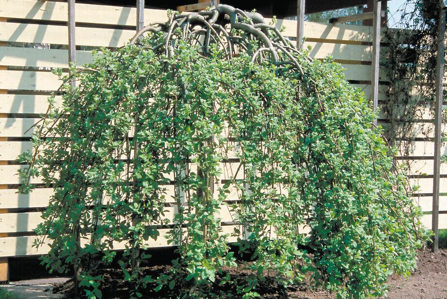 Hängsälg 'Kilmarnock', Höjd 40 cm, Grön