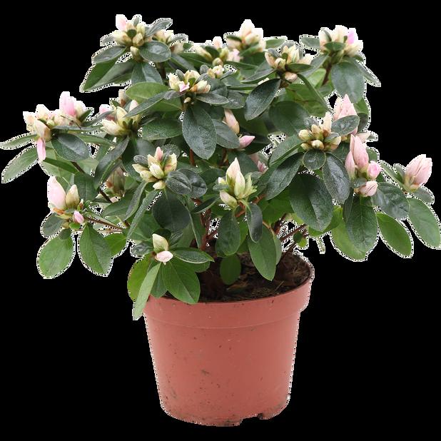 Azalea 'Dolly', Ø12 cm, Rosa