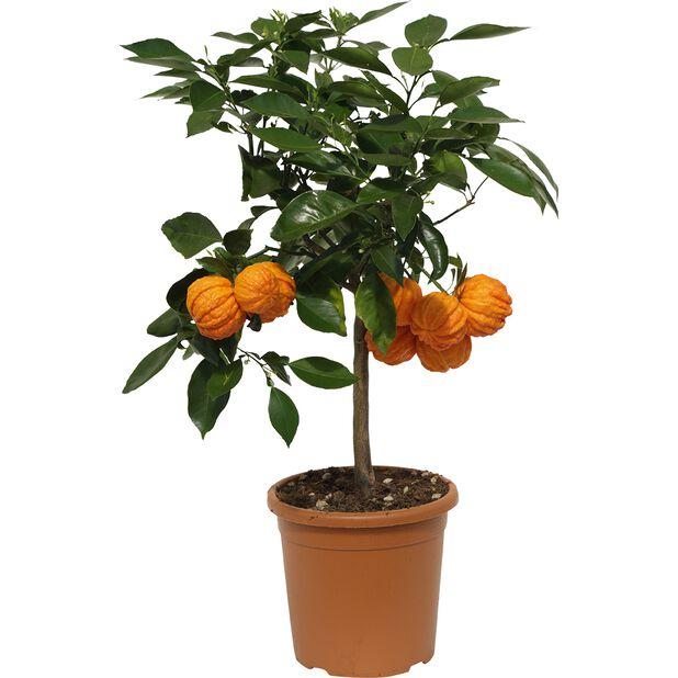 Apelsin 'Corrugata', Ø19 cm, Orange