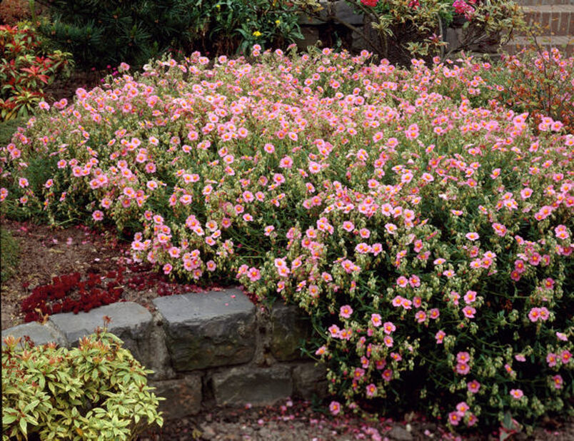 Trädgårdssolvända 'Lawrenson's Pink', Höjd 15 cm, Rosa