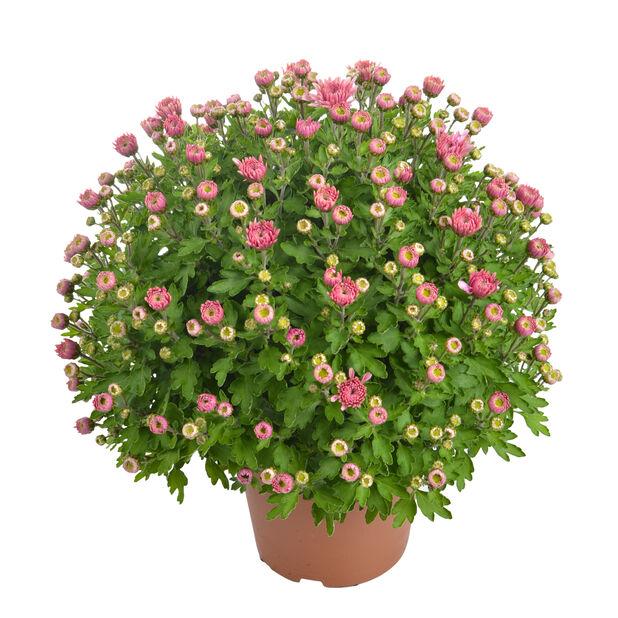 Bollkryss liten rosa
