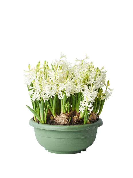 Hyacint i skål, Ø23 cm, Flera färger