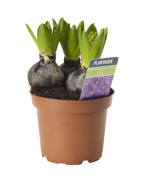 Hyacint, olika färger
